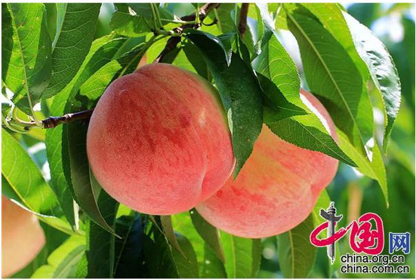 江苏省新沂市水蜜桃产业驶上高质量发展快车道
